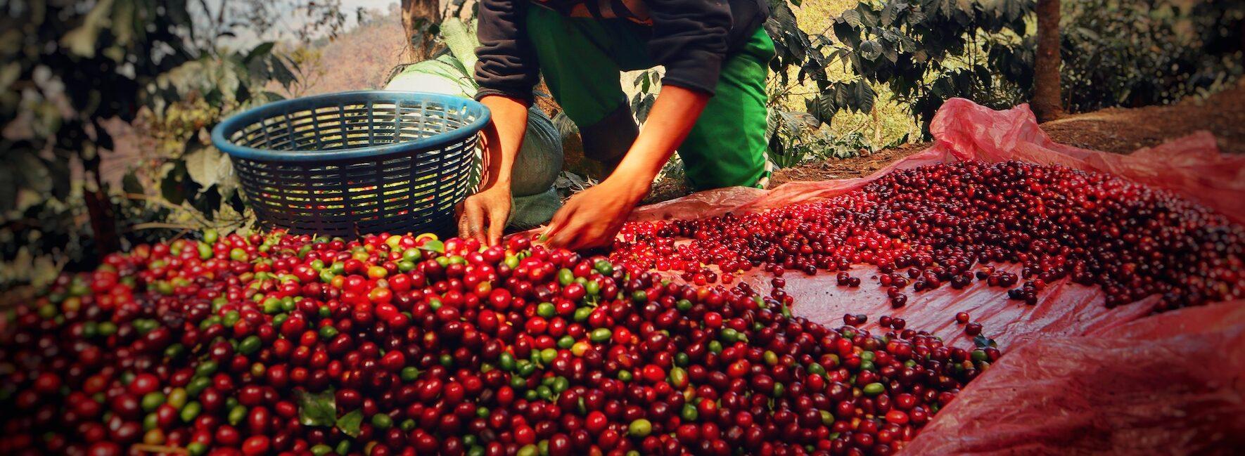 Guter Kaffee wird sortiert um bester kaffee zu werden. Das Bild ist zeigt die Hände eines Arbeiters auf der Farm, beim Kaffeesortieren