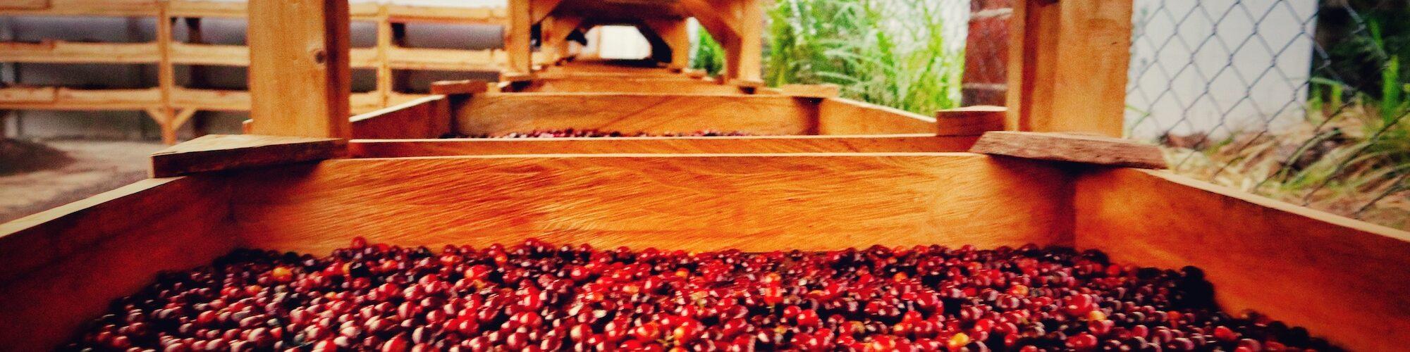 Kaffeebohnen, bzw. Kaffee Kirschen in der trockenen Aufbereitung auf African Beds. Die Aufbereitung und Fermentation sind wichtige Informationen für den Geschmack.