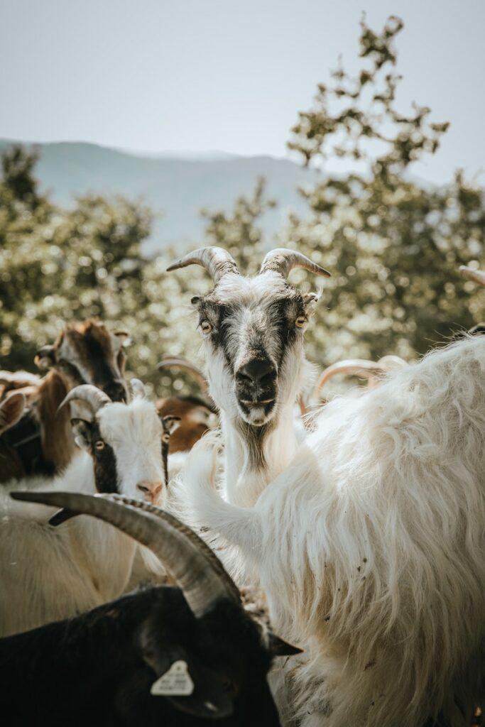 Weiße Ziege schaut in die Kamera, Ziegen sind ein Symbol für die Kaffee Geschichte.