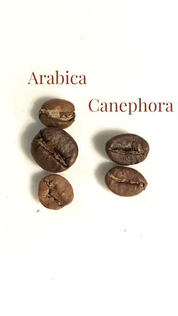 Arabica vs. Canephora, zwei Arten der Kaffeepflanze im Vergleich. Dabei sind es jeweils zwei unterschiedliche Varietäten.