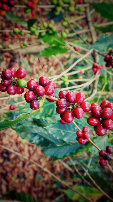 Ein Ast einer Kaffeepflanze mit voll mit Kaffeekirschen. Das ist eine Pflanze der Arabica Art.