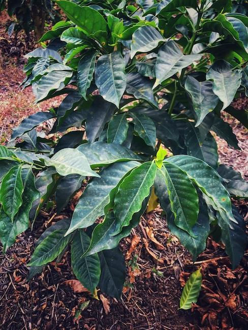 Eine junge Kaffeepflanze der Art Arabica. In der Botanik ist das ein anderer Rang als die Varietät Robusta.