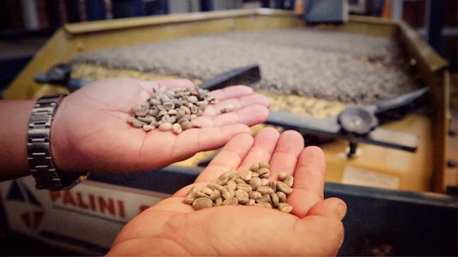 Zwei Hände die unterschiedliche Sortierungen von Rohkaffee halten. Diese wurde auf der Rüttelplatte im Hintergrund sortiert. Dies ist ein Schritt in der Wertschöpfungskette, der Qualität hinzufügt, entsprechend wichtig ist er im Kaffeeexport.